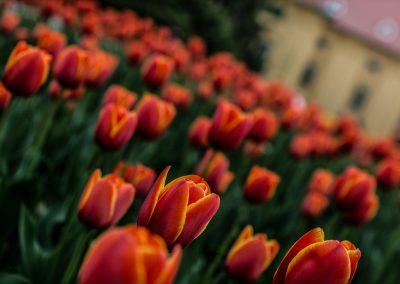 tulipány v Lednické zahradě