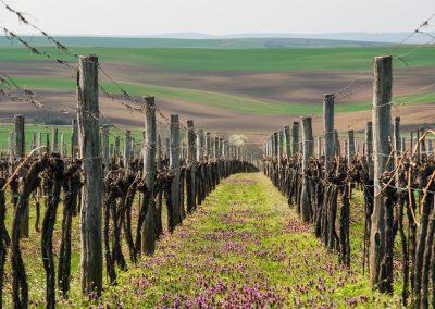 vinice Šardice