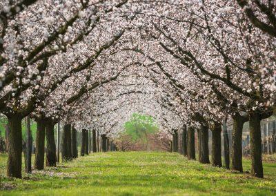 cesta rozkvetlými stromy