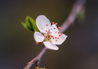květ v sadu