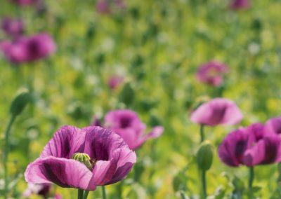 fialové máky