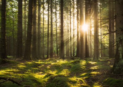ranní les